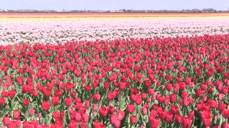 tulipany : Field of multicolored tulips