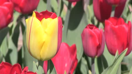 blue and yellow : One yellow tulips stands put among red ones Stock Footage