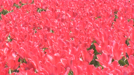 tulipany : Field of red tulips Wideo