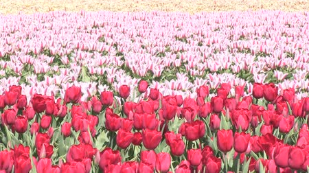 laleler : Multicolored tulips Stok Video