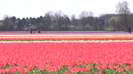 tulipany : Multicolored tulips Wideo