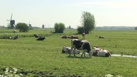 holandês : Dutch cows and windmills