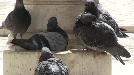 limpeza : Pigeons in bath