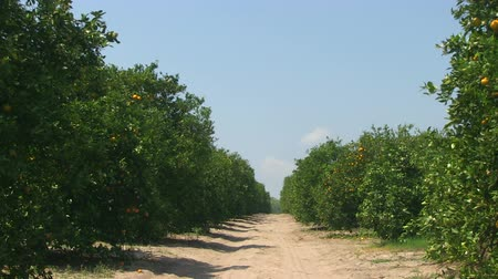 laranja : Oranges on a tree in a Central Florida orange grove