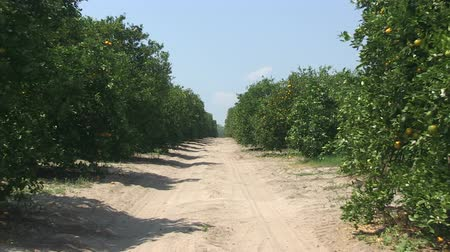irrigate : Oranges on a tree in a Central Florida orange grove