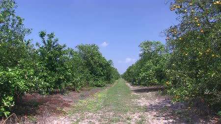 row : Oranges on a tree in a Central Florida orange grove