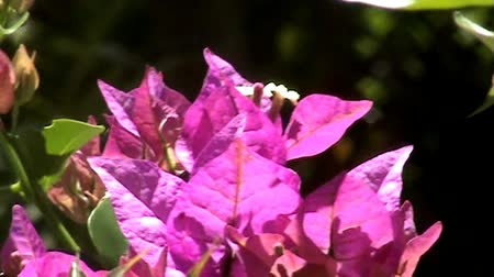 krzak : Closeup of blooming pink colored bush in the garden, Palm Cove, Cairns Wideo