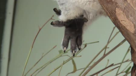 koala bear : Koalas forepaw with two thumbs and three fingers, close-up Stock Footage