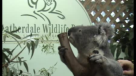 koala bear : A koala bear sitting in a tree sniffing the trunk at Featherdale Wildlife Park Stock Footage