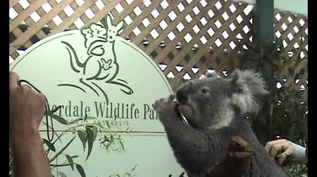 koala bear : The only sleepless koala bear at daylight in Featherdale Wildlife Park having lots of hugs and attention from the visitors Stock Footage