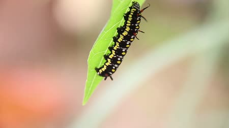 tiger butterfly : Common Tiger Caterpillar Or Danaus Genutia Caterpillar Moving On Leaves Footage