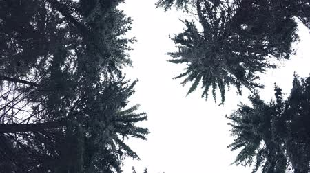 zimní : Sky through forest mountain pine trees surrounded in snow.