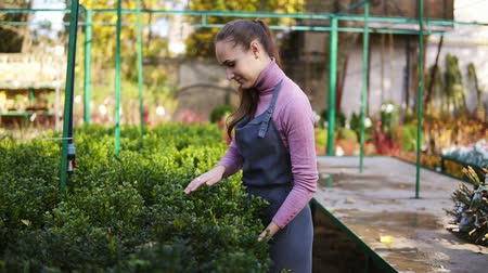 boxwood : Young female florist in apron examining and arranging flowerpots with green boxwood on the shelf. Young woman in the greenhouse checks a pot of buxus