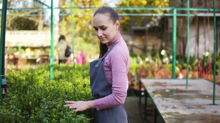 boxwood : Portrait of young female florist in apron examining and arranging flowerpots with green boxwood on the shelf. Young woman in the greenhouse checks a pot of buxus Stock Footage