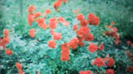 harmonie : A shot of beautiful red roses in the backyard garden in 1962.