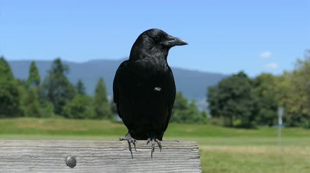 wrona : A pretty black raven looks curiously around at things while enjoying a beautiful summers day