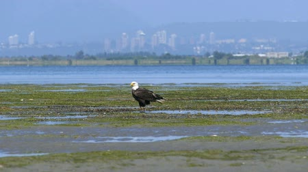 sas : A majestic Bald Eagle sits on a sand bar near the ocean enjoying a beautiful summers day!