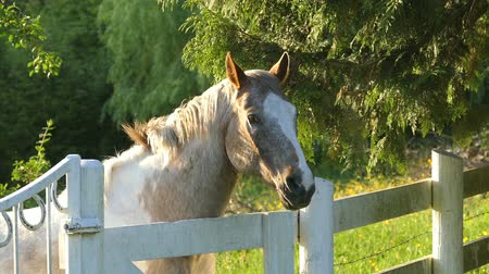 dmuchawiec : A beautiful farm horse enjoying a lovely spring evening of grazing in the field. Wideo