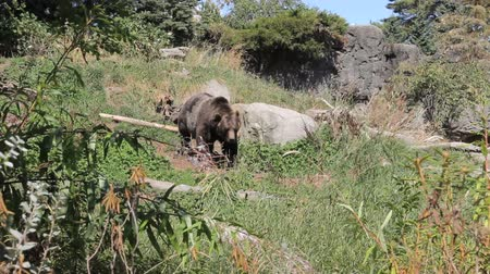 tlapky : A large brown bear goes for a walk exploring for food.