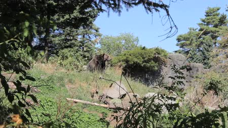 tlapky : A large brown bear takes a rest and sniffs the air on a beautiful summers day. Dostupné videozáznamy