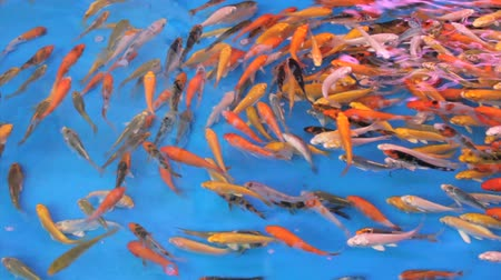 золотая рыбка : A school of tropical fish swim around and around in circles in a large tank.