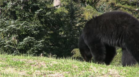 miś : A cute little black bear looks for food by the side of the highway. Wideo
