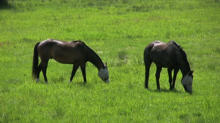 égua : A close up shot of two blind horses grazing in a field. Vídeos