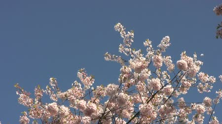 Blossom Snowflakes Fly Off Cherry Tree In Springtime