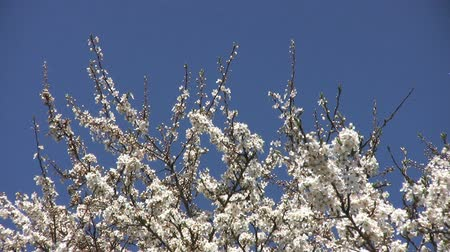 yabanarısı : Bees fly from blossom to blossom on this cherry tree in spring. Stok Video