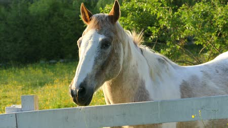 égua : A beautiful farm horse enjoying a lovely spring evening of grazing in the field. Vídeos