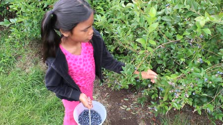 pigtailler : A cute little 9 year old Asian girl picks fresh blueberries for her bucket. Stok Video