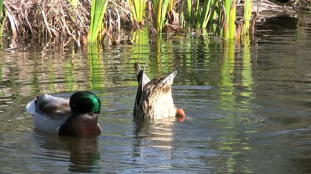 jíst : A duck sticks his tail out of the water while he looks for food in the water. A colorful Mallard duck looks on beside her. Dostupné videozáznamy