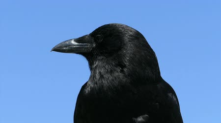 tajemnica : A pretty black raven looks curiously around at things while enjoying a beautiful summers day!