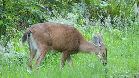 at kuyruğu : A beautiful white tailed deer quietly spends time eating grass on the edge of the forest. Stok Video
