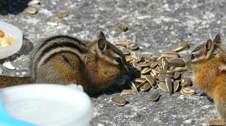 tlapky : A group of adorable Chipmunks enjoy eating some sunflower seeds given by a young girl.