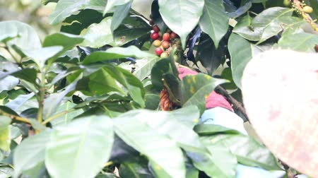 племя : coffee farmer harvesting coffee beans at the coffee farm Стоковые видеозаписи