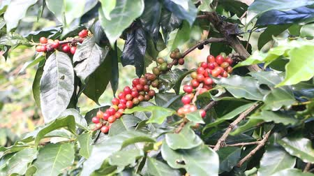 ecuador : Ripening coffee beans on a tree Stock Footage