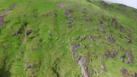 wełna : Sheep grazing on steep grassy mountain slopes on Lofoten islands in Norway. Aerial 4k Ultra HD.