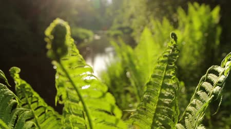 kapradina : Wild-growing forest fern. Young green plant.