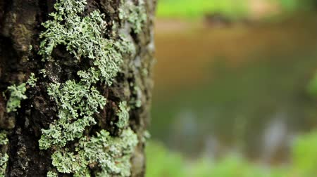 havlama : Great titles for the background on nature. Lichen on a birch looks texturally not usually. Stok Video