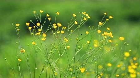 greenpeace : buttercup wildflower grows in meadows of Europe. Stock Footage