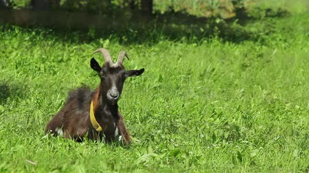 cabra : Black goat resting on meadow.