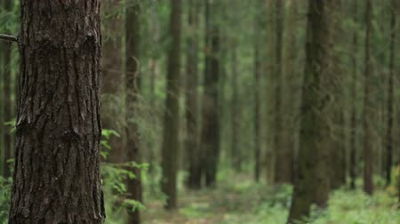 fall through : Species of wild forest, fallen trees covered with moss. Pine forest, wildlife. Stock Footage