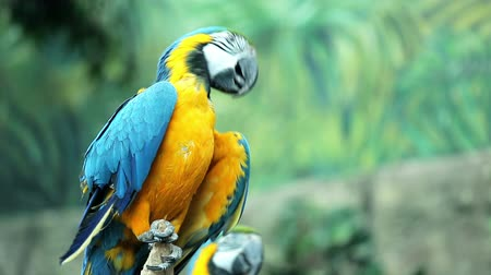 bird eye : Blue and yellow macaw resting