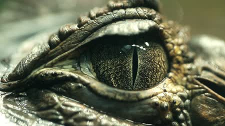 olhos verdes : Alligator Eye Closeup