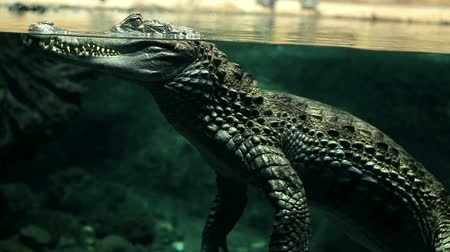 ящерица : crocodile under water large reptile