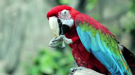 arara : Red Macaw head close-up