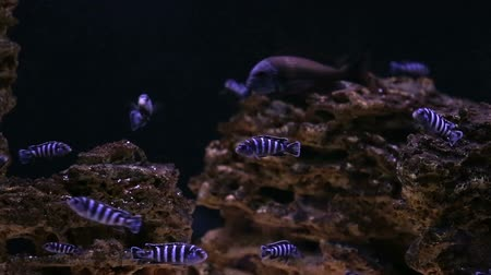 mestiços : African Cichlid fishes searching for food between snags and green plants Vídeos