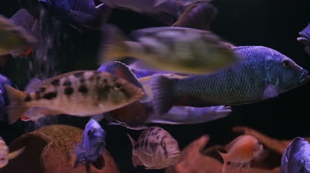 carne : African Cichlid fishes searching for food between snags and green plants Vídeos