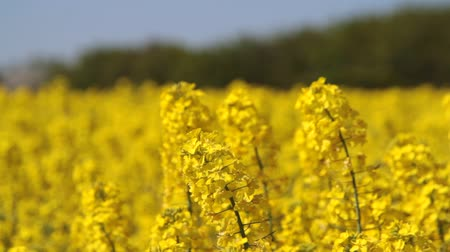 rape oil : Canola fields or Rapeseed plant Stock Footage